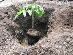 How To Correctly Plant A Tomato To Get 5 – 8ft Tomato Plants, note to self:  plant tomato plants deeper, wrap with banana peels
