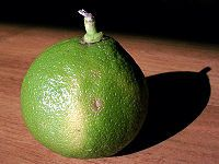 I, Abby, have been studying botany for some time now and only just realized there are two types of bergamot.  Here is one: Bergamot orange - Wikipedia, the free encyclopedia