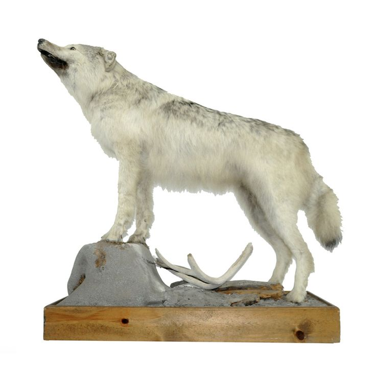 Gray Wolf – Taxidermy Mounts for Sale – Taxidermy Trophies for Sale!