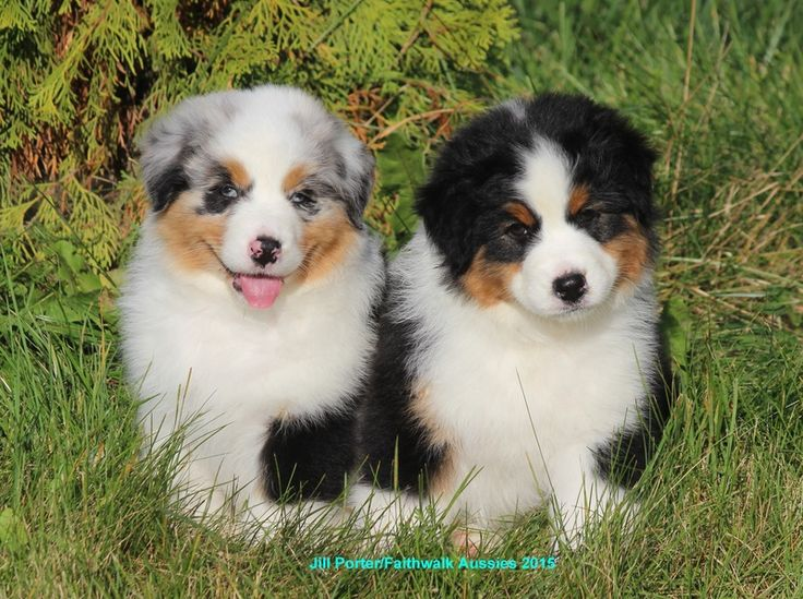 Adding Two Pups At Once - Faithwalk Aussies