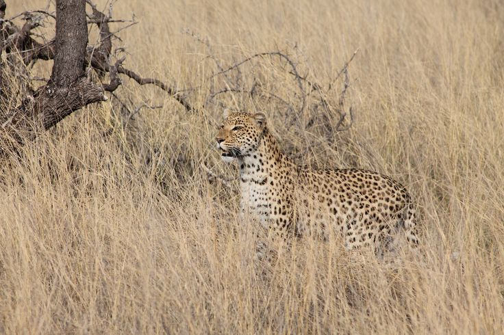 Such a special sighting with this leopard at Vumbura, felt very privileged