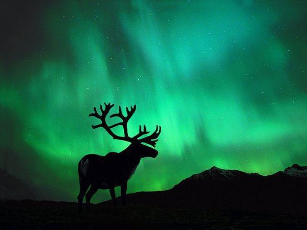 Elk in silhouette of Aurora Borealis.