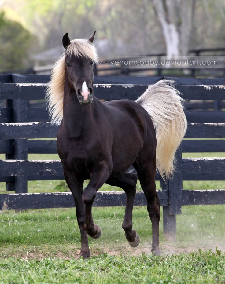 "silver dapple colt  This has always been my absolute favorite coloring! The flaxen mane & tail are simply ""gorgeous""!  Beautiful colt. :)"