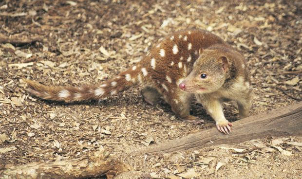 'Locally extinct' tiger quoll spotted in Grampians-- Before last month, tiger quoll had not been confirmed in central Victoria for more than 140 years. (Credit: Mitch Reardon)
