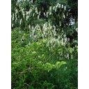 Pimpernel (Sanguisorba tenuifolia alba)  Kleur:Wit Bloeitijd:Augustus, Juli, September Max. hoogte:140cm Standplaats:Halfschaduw, Zon Geurend:Nee Groenblijvend: