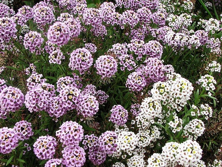 How to Care for Alyssum | Garden Guides  containers