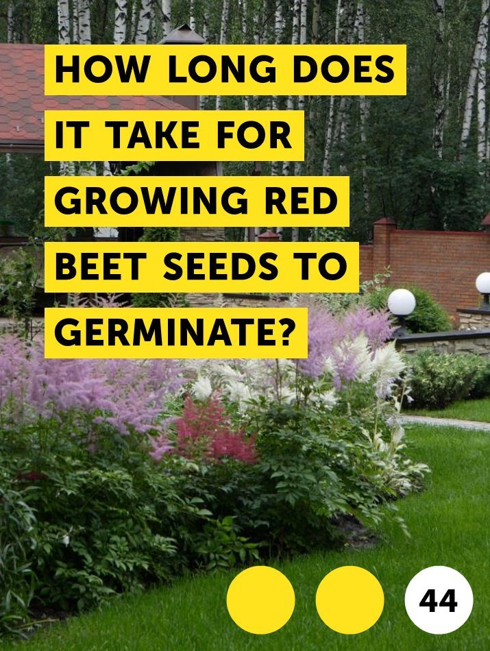 Learn How Long Does It Take For Growing Red Beet Seeds To Germinate How To Guides Tips And Tricks Beet Seeds Growing Beets Red Beets