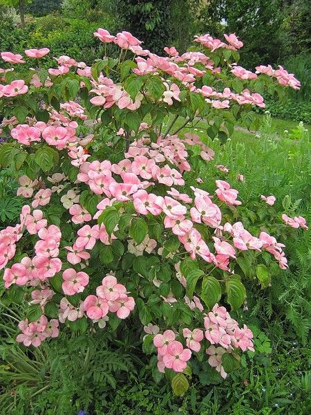 Jap.Blumen-Hartriegel Satomi - Cornus kousa chinensis Satomi günstig aus der Baumschule online kaufen pflanzmich.de