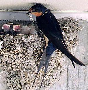 Zwaluw/Swallow