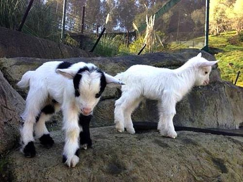 For the first time in fifteen years, there are baby Goats at the Oakland Zoo.