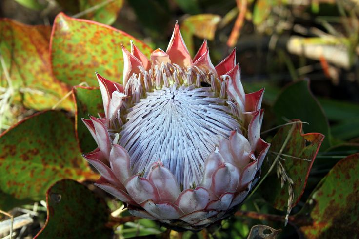 Protea, Table Mountain National Park, South Africa.
