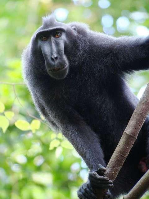 Crested Macaque (Kuifmakaak)