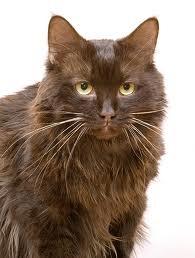 www.petclic.es la mayor tienda online de productos para #mascotas. La mayor biblioteca de contenido y consejos sobre mascotas. 1.000 consejos. 50.000 imágenes. Foto del #gato york chocolat