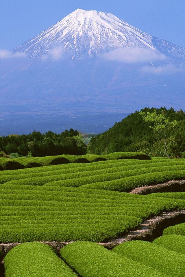 Mount Fuji and a Tea Plantation in Shizuoka