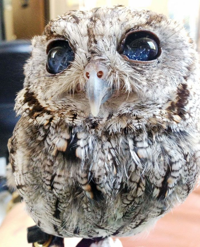 Meet Zeus, a blind Western Screech Owl with eyes that look like a celestial scene captured by the Hubble Space Telescope.