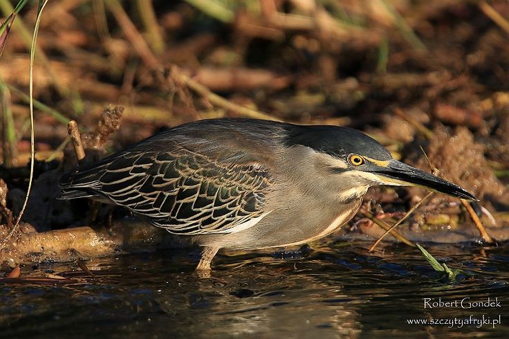 Czapla zielonawa - Green-backed Heron Botswana    www.szczytyafryki.pl    #Botswana #Ptaki #Afryka #Africanbirds