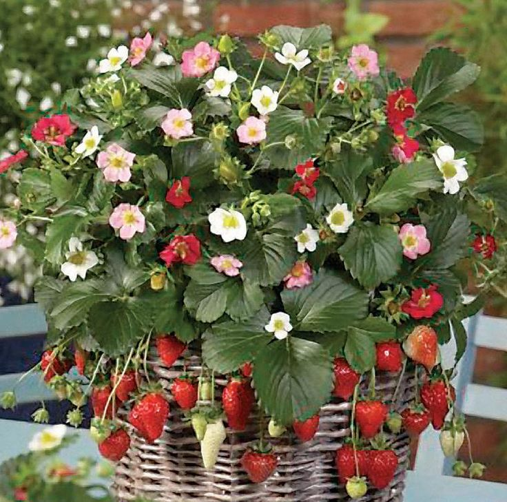 Strawberry Garden Ideas 16 best growing strawberries images on pinterest Red Climbing Strawberry Plant Seeds
