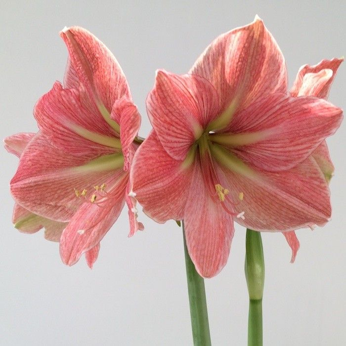 Hippeastrum Terracotta Star Pheasant Acre Plants Uk