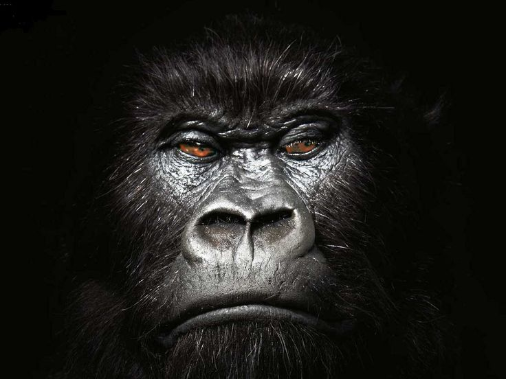 gorilla wallpaper 20