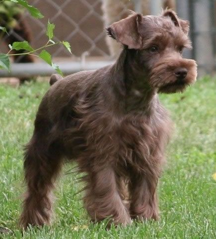 liver colored miniature schnauzer.  The husband and I are in love with our black schnauzer but I love this color!