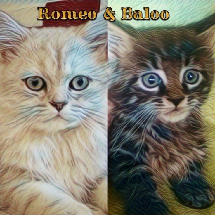 Baloo the #mainecoon #cat (2 months) and Romeo #chinchillapersian(4 months) #prisma version #prismacolor #prismatic #prismaapp #prismaart  #persiancat