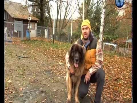 [Планета собак] Леонбергер. Германия.