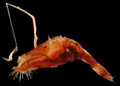 Wolf Trap Anglerfish 1000+ images about Dee...