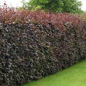 17 best images about les plantes de haies on pinterest canada hedges and nice. Black Bedroom Furniture Sets. Home Design Ideas