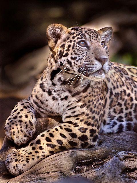 ~~Senior portrait ~ five-month old jaguar by Stinkersmell~~
