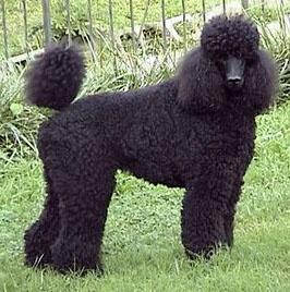 PoodlesFamilies Pets, Standard Poodles, Poodles Baby, Standards Poodles, Poodles Beautiful, Duck Hunting, Poodles Puppies, Darling Poodles, Poodles Gotta