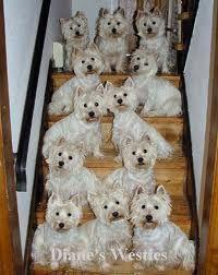 A dozen Westies! OMG too cute!