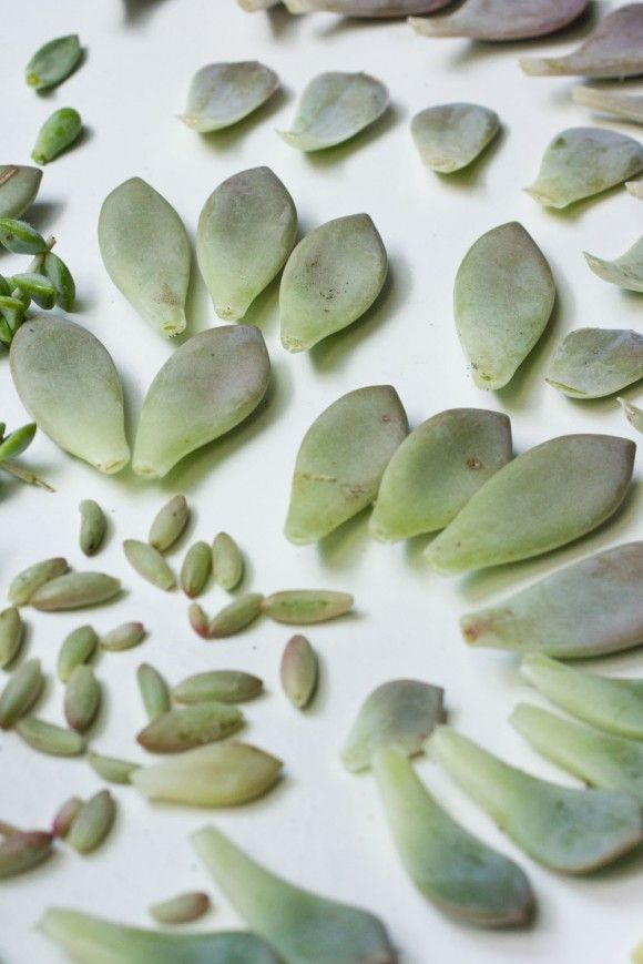 Propagating Succulents from Leaves - Succulents and Sunshine