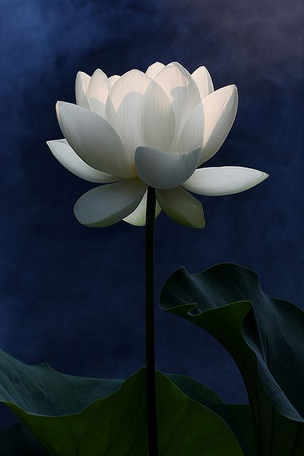 ✯ White Lotus Flower and the first rays of the sun .. by Bahman Farzad✯