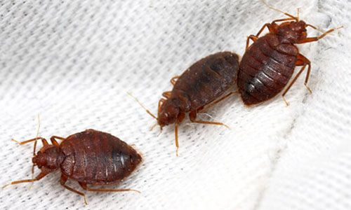 If you think you have bed bug, don't panic.Learn more facts,pictures,videos info about earwig and how to get rid these pests