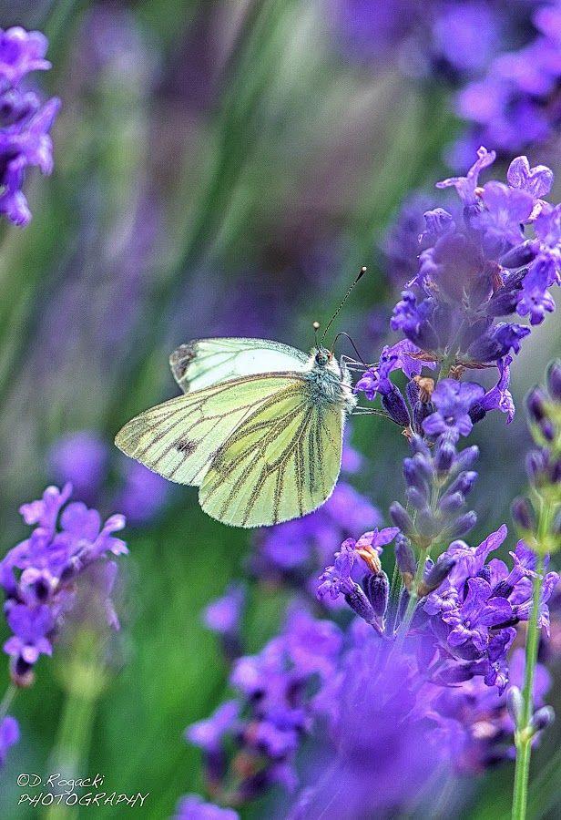hardsadness: by Dietmar Rogacki  #Butterfly
