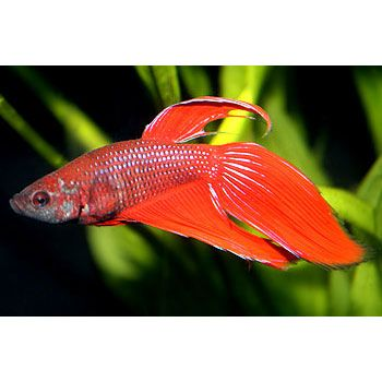 38 best images about fish tank on pinterest opaline red for Male veiltail betta fish