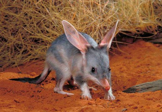 Bilby-These cute little animals are an endangered species. Bilby's don't drink water, they get enough from the food they eat. They sleep during the day in deep burrows and forage at night and are found mostly throughout the arid, dry areas of Australia.