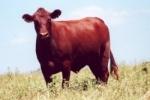 PITANGUEIRAS Pitangueiras es una raza originaria de Brasil. Esta raza es producto de la cruza de las razas Red Poll y Nelore. Se la utiliza para la producción de leche. El color característico es el rojo.