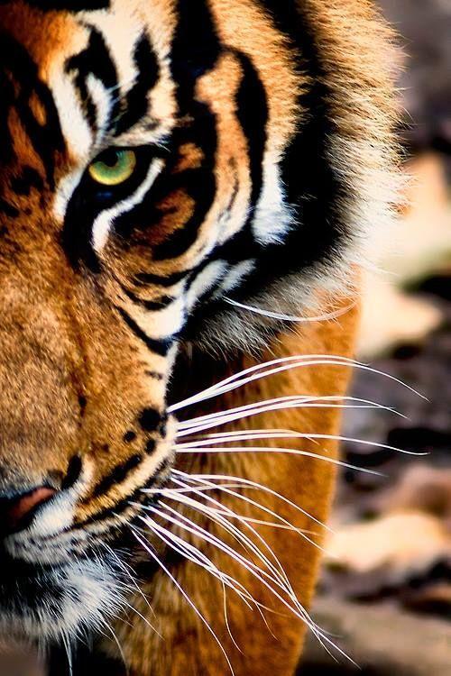 9f339677f458bc088dcb27338efdbbc0--tiger-eyes-tiger-mask.jpg (500×750)