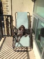 Chuck (DFW) is an adoptable German Shorthaired Pointer Dog in Dallas, TX. Chuck is a gorgeous male that has recently joined us. Chuck is 6 years old. He is LARGE and could probably stand to drop a few...