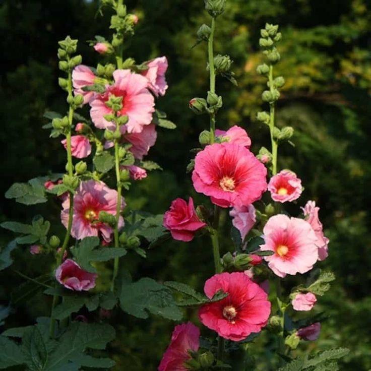 Garden With Pink Hollyhock Plants : Hollyhock Plants Enhance The Look Of Your Summer Garden