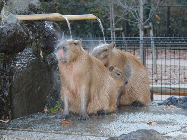 冬将軍到来!埼玉県こども動物自然公園のぬっくぬくな冬の名物「カピバラ温泉」|ローカルニュース!(最新コネタ新聞)埼玉県 東松山市|「colocal コロカル」ローカルを学ぶ・暮らす・旅する