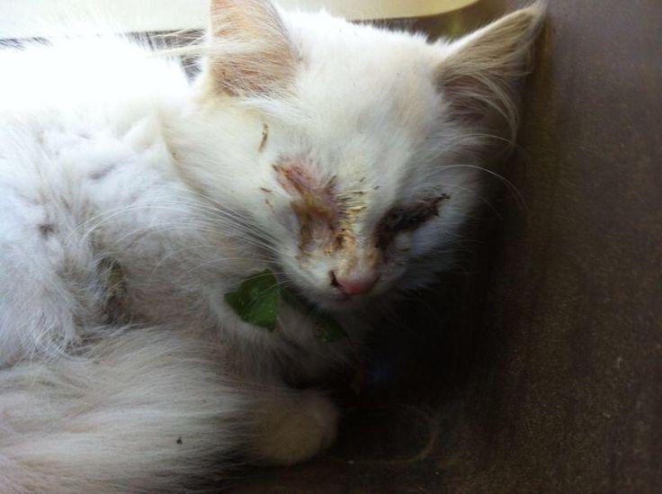 I SUOI BELLISSIMI OCCHI DORATI SONO GUARITI http://amareglianimali.altervista.org/i-suoi-bellissimi-occhi-dorati-sono-guariti/ #gatti