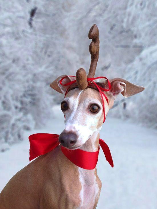 An Italian Greyound with antler headwear-- Oh Deer | under the blanket