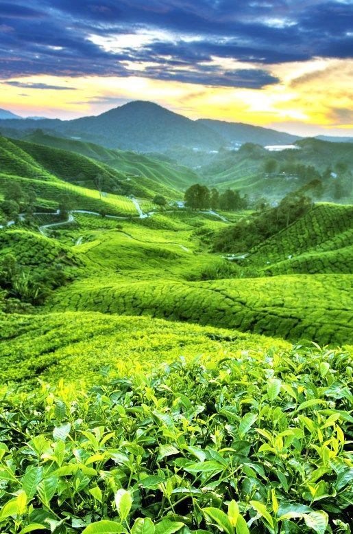 Tea Plantations at Cameron Highlands. Malaysia tourism.