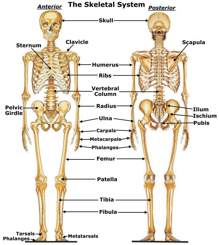 15 best chapter 8: the skeletal system images on pinterest | human, Human Body