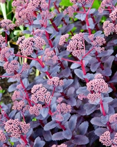 Sedum Purple Emperor Is A Mound Forming Perennial With Dark Leaves And Tall Flowerspink