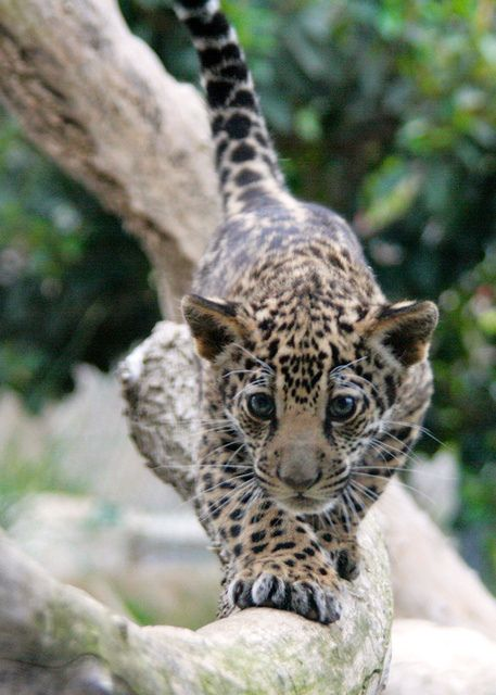 ☀Focused leopard cub by Penny Hyde