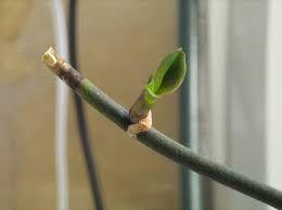 Bebek orkide üretiminin teşvik edilmesi Henüz köklenmemiş bebek (Keiki) orkide Orkide üretmenin birkaç değişik yolu var ancak evde üre...
