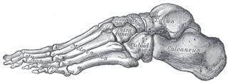 Astrágalo. Es el único hueso del tarso que se articula con la pierna, quedando sujeto por la mortaja tibioperonea y articulándose caudalmente con el calcáneo y ventralmente con el escafoides. Consta de una cabeza o porción anterior que se articulará con el escafoides, un cuello o segmento intermedio y un cuerpo o porción posterior. El cuerpo es la parte más voluminosa, su cara superior es articular formando la porción media o principal de la tróclea o polea astragalina.